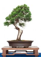 Chinese Juniper- Excellent for Bonsai 10 Viable Seeds